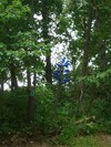 Blue_bottle_tree_2d_2